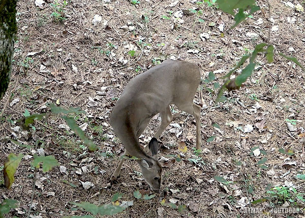 whitetail deer eating acorns