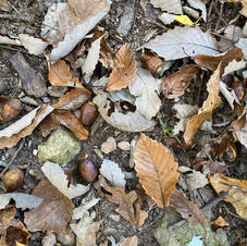 Leaf litter with acorns
