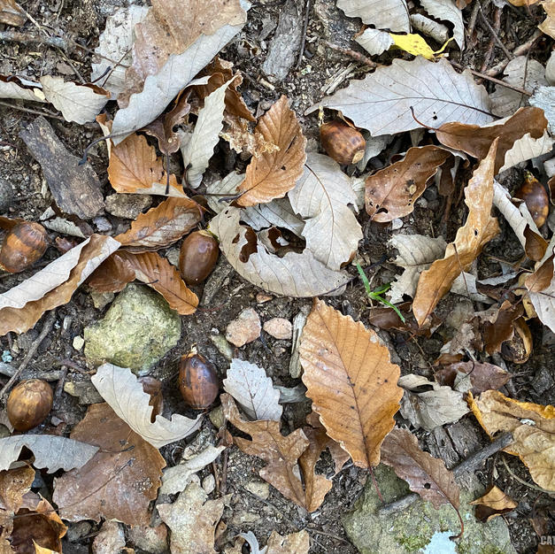 Leaf litter with acorns