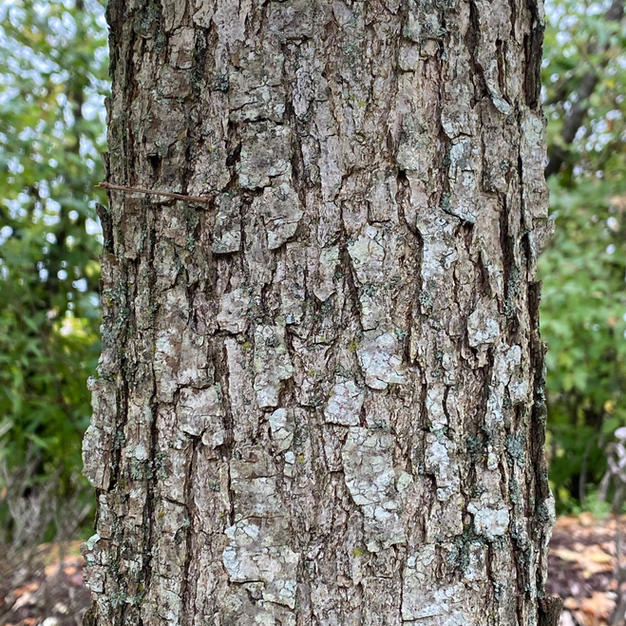Young bark