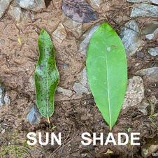Sun vs. Shade leaf