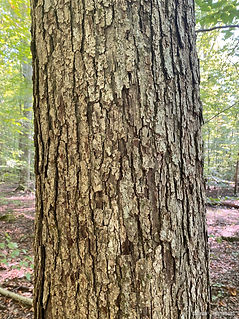 Swamp Chestnut Oak
