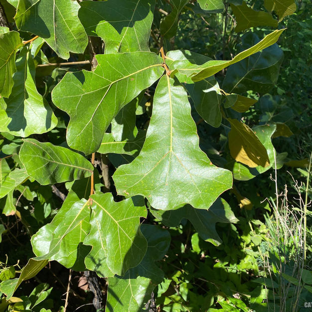 Typical leaf shape