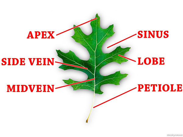 leaf_anatomy.jpg