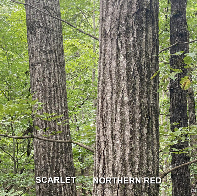 Scarlet Oak (left) compared to Northern Red Oak (right)