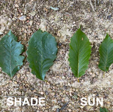 Shade vs. Sun leaves