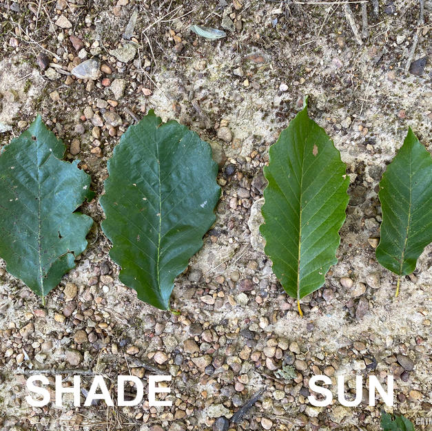 Shade vs. Sun leaves