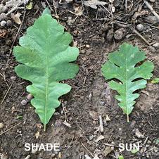 Shade leaf vs. sun leaf