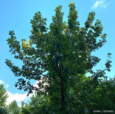 Young tree