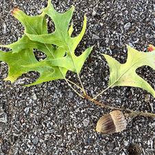 Twig with acorn