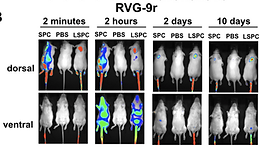 PrPC knockdown by liposome-siRNA-peptide complexes (LSPCs) prolongs survival and normal behavior of prion-infected mice immunotolerant to treatment