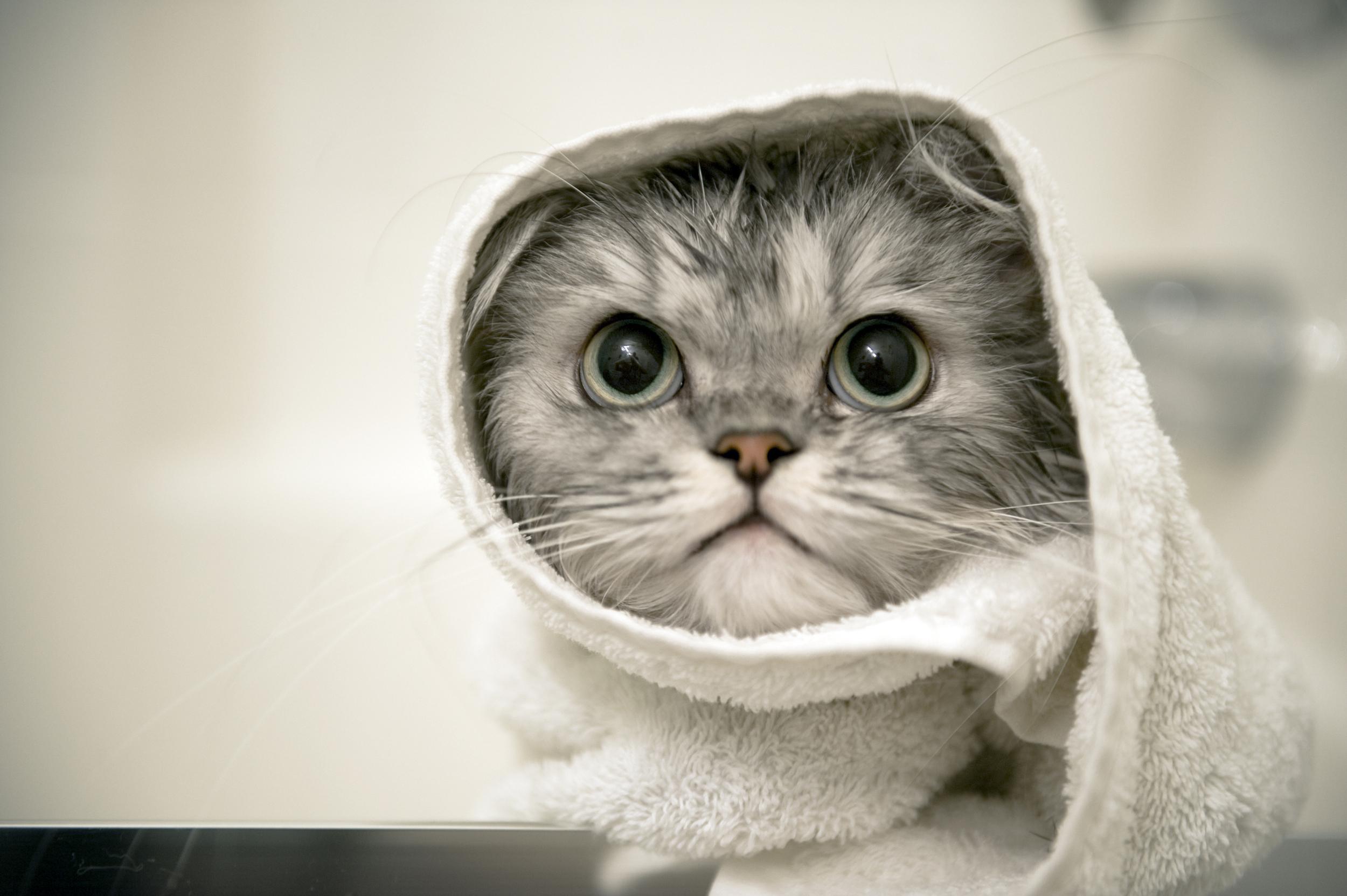 a-persian-cat-getting-a-bath-1