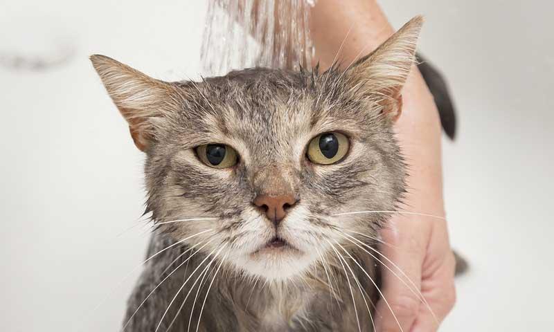 como-bañar-a-un-gato