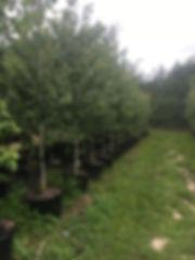 T & G Trees Pic 2.JPG