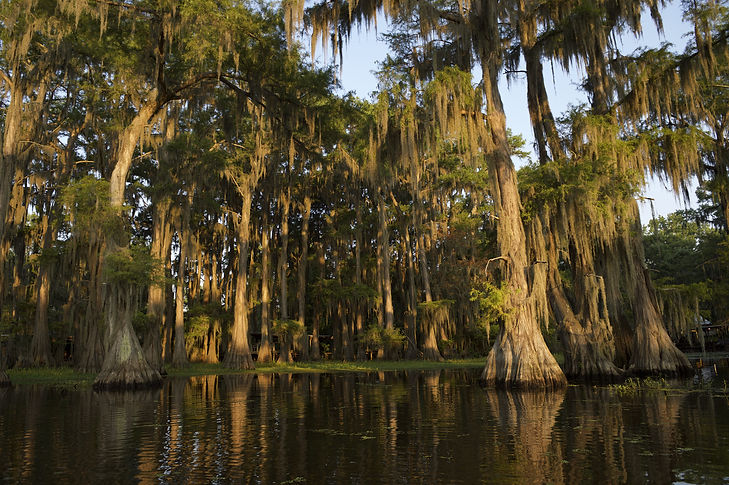 Swamp bayou scene of the American South featuring bald cypress trees and Spanish moss in C