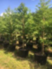 T & G Trees Pic 4.JPG