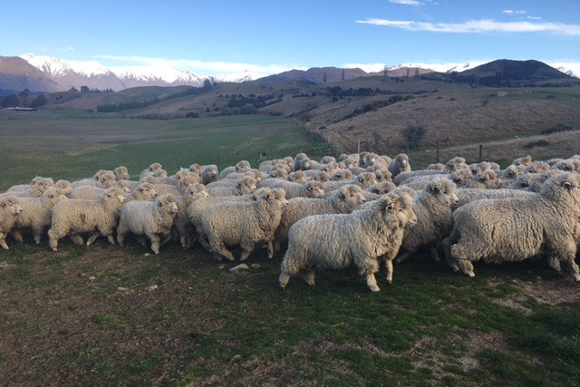 Romney-Merino Cross Update