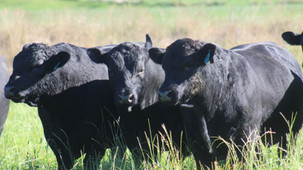 2021 Peters Angus Bull Sale - check out online catalogue
