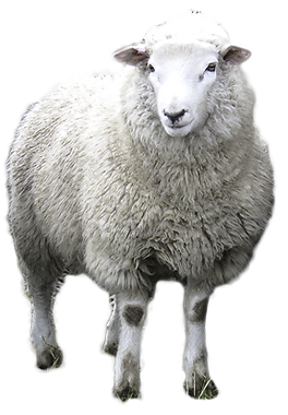 Romney-Texel Sheep