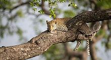 Saseka-Female-Leopard-3_JT-1940x1293_edited.jpg