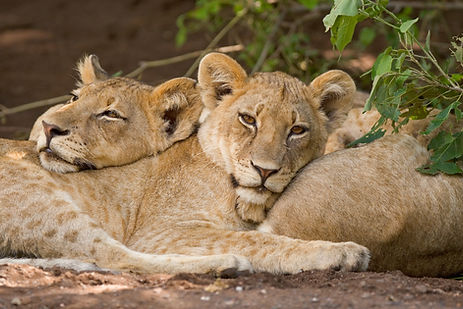 Two lion cubs resting on each other's bo