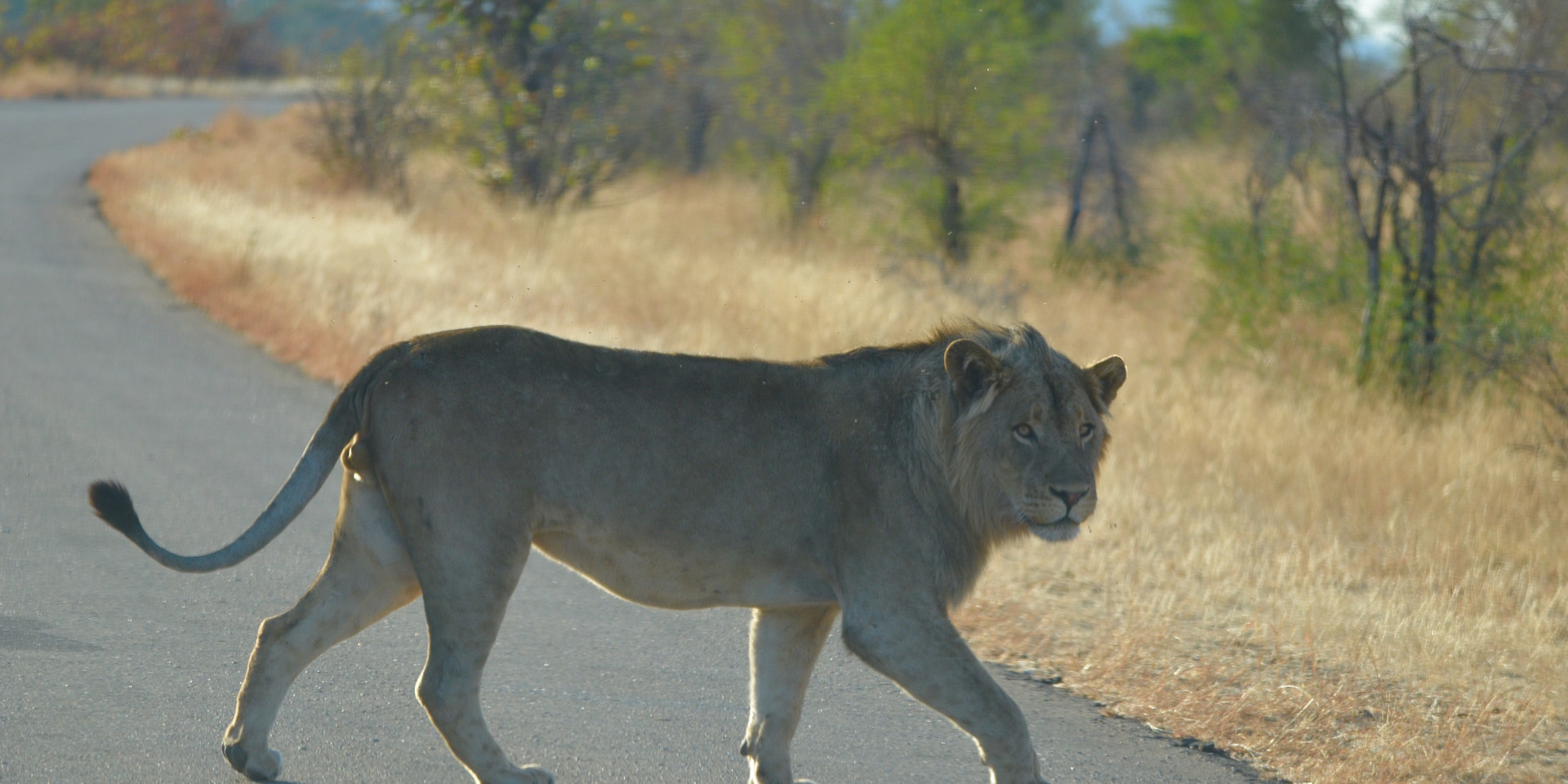 lion h-8.jpg