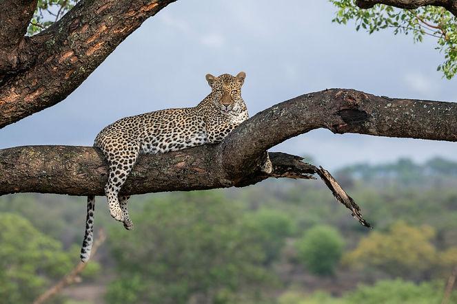 Leopard_branch_stare_AJ-1940x1293.jpg