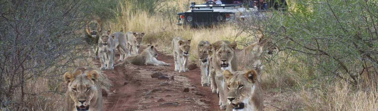 Tuningi_wildlife_lions_vehicle-Gavin-e1527164757452-1271x1000.jpg