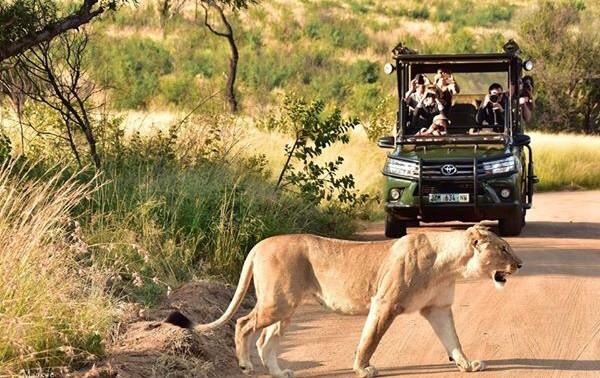lion on safari.jpg