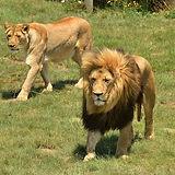 lions rietvlei.jpg