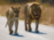 lion and lioness.jpg