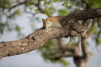Saseka-Female-Leopard-3_JT-1940x1293.jpg