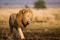 Masai Mara lion.jpg