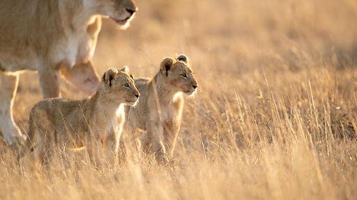 Lion _ Ross Couper 6.jpg