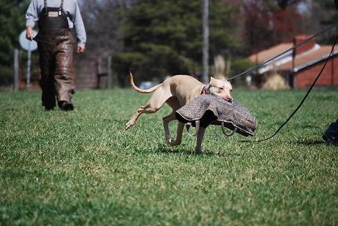 Собака со снарядом в пасти на тренировке Шуцхунд (Schutzhund)