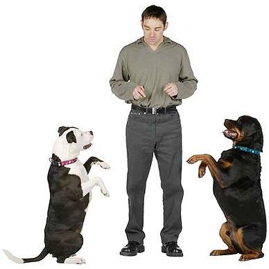 Дрессировка собак и соревнования по Обидиенс (что означает «послушание»)