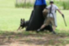 Овчарка преследует условного противника на тренировке шуцхунд ( schutzhund )