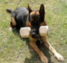 Немецкая овчарка со снарядом в пасти ждёт сигнала на тренировке Шуцхунд (Schutzhund)