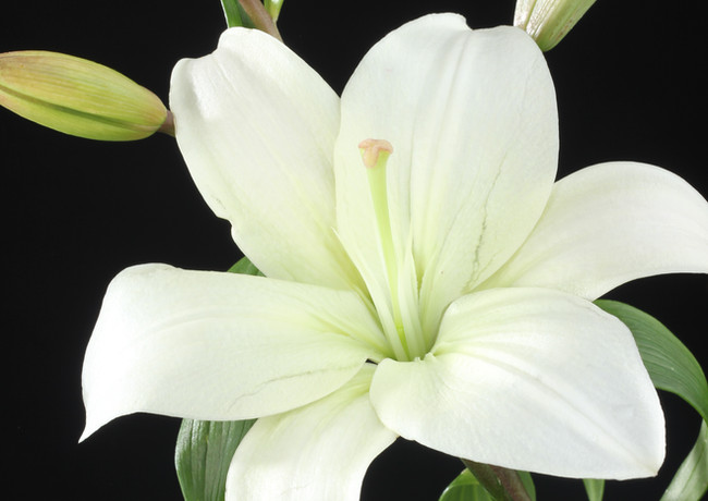 Asiatic Lily White.JPG
