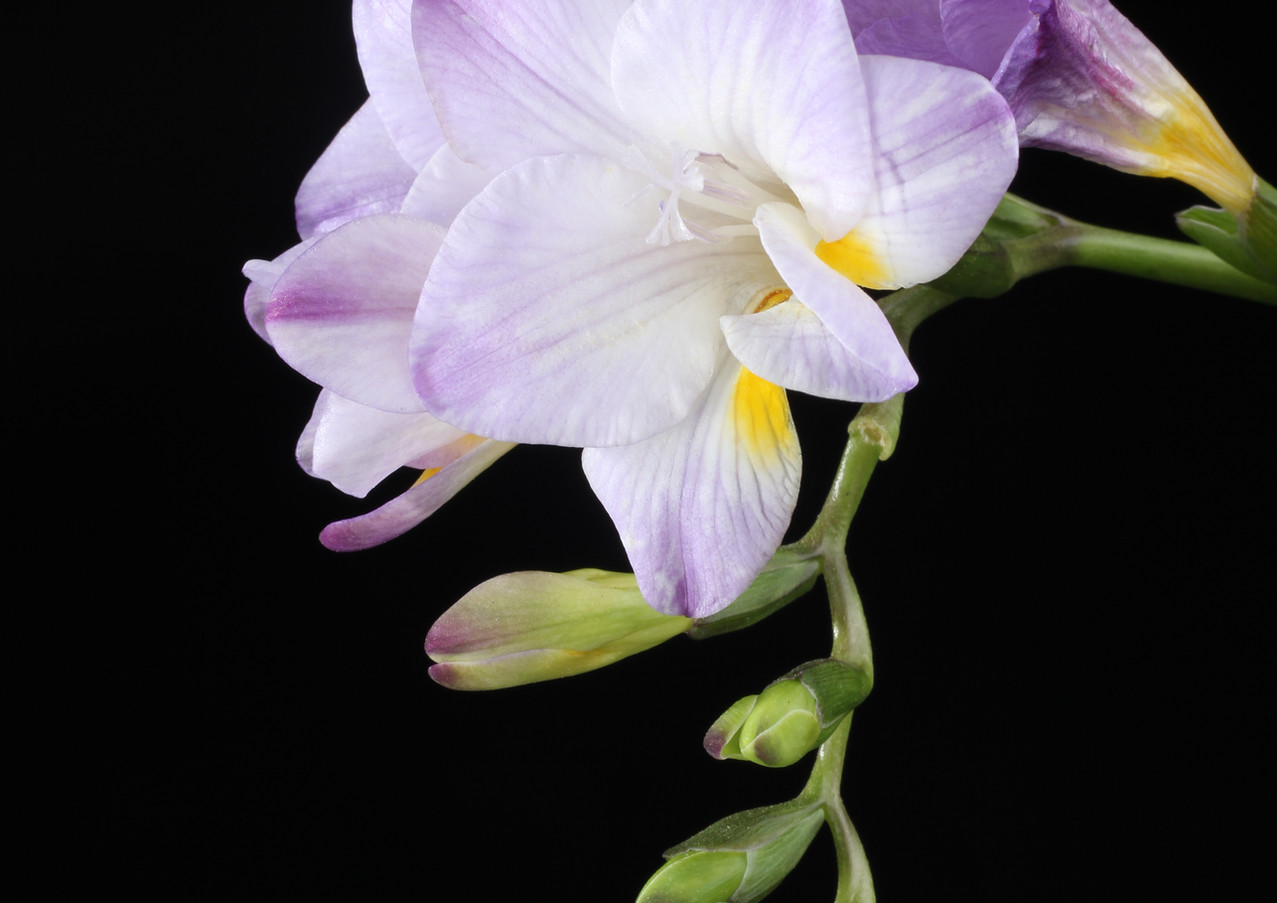 Freesia Purple.JPG