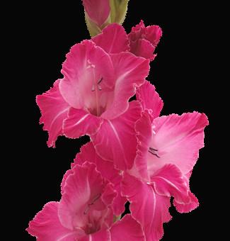 Hot-Pink-Gladiolus-Flower.jpg
