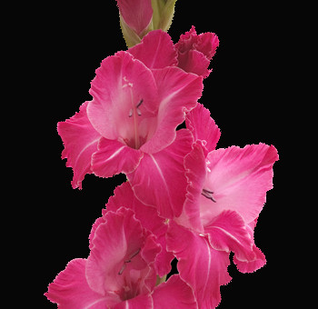 Hot-Pink-Gladiolus-Flower.jpg