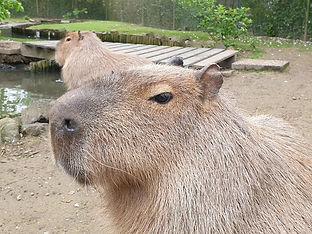 faunapark-flakkee-dieren-marmot.jpg