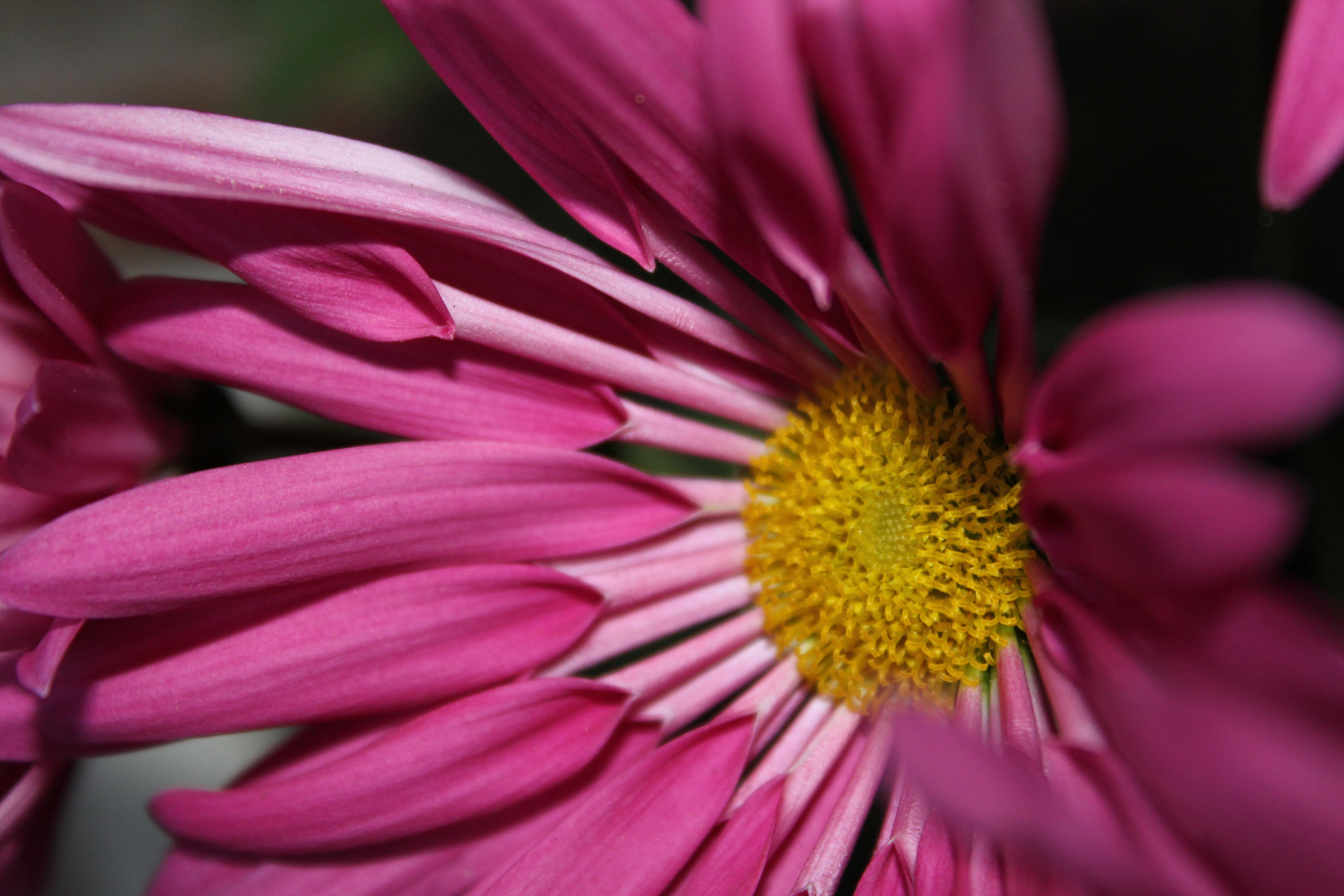 Gerbera, floral photography, art