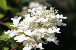 Hydrangea, floral, photography, art