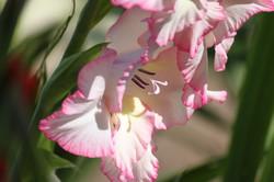 Light Pink Gladiol