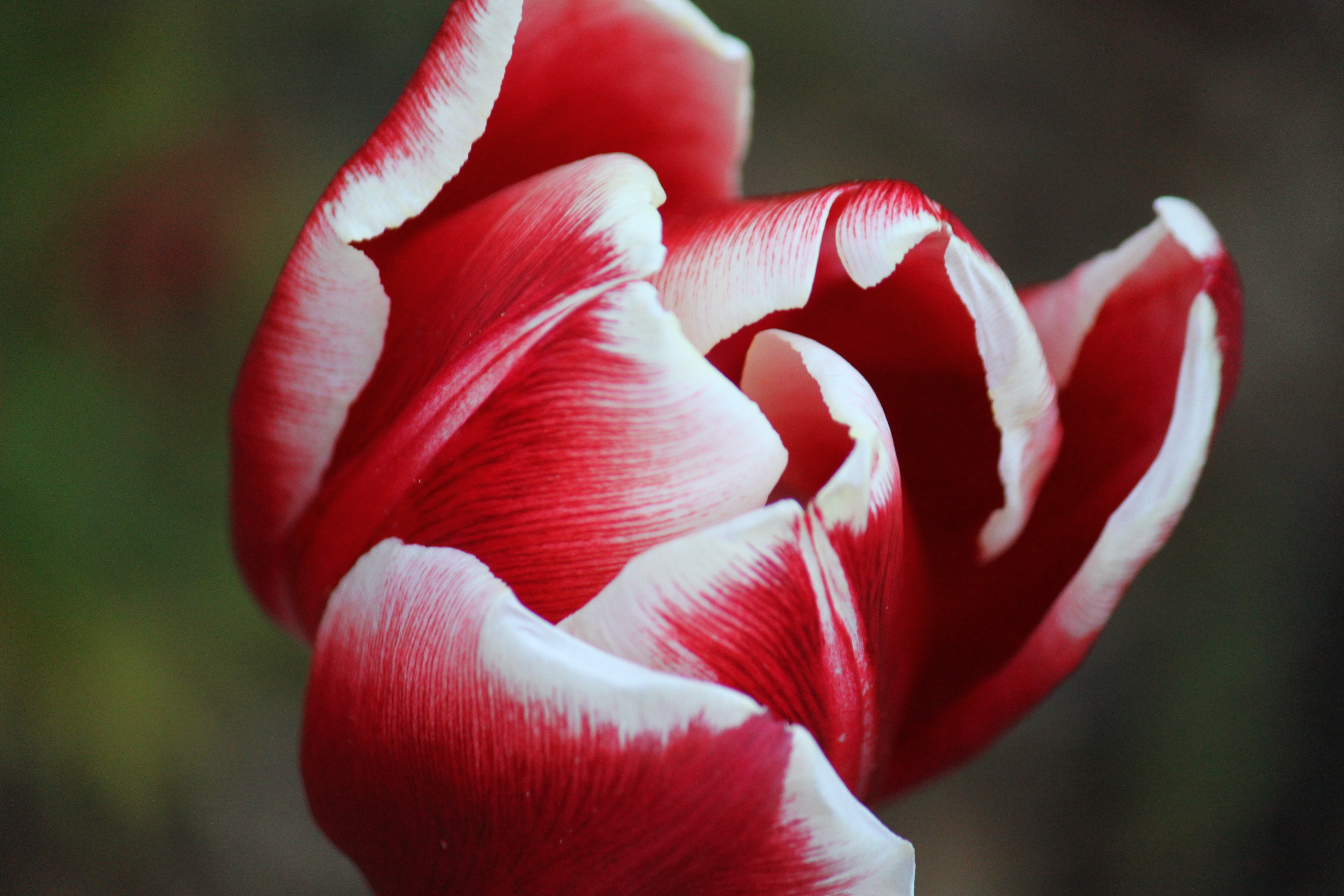 floral, photography, tulip, flower