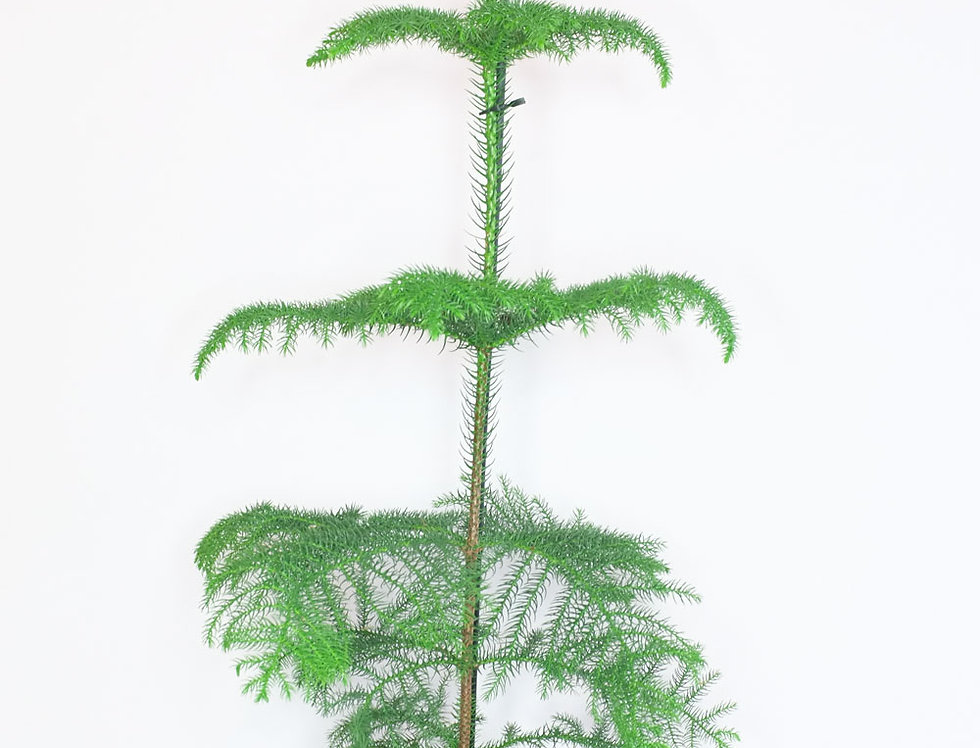 Aurocaria heterophylla