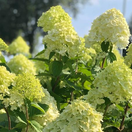 Hortensia special - waarom deze Hortensia's een goede toevoeging zijn aan je tuin
