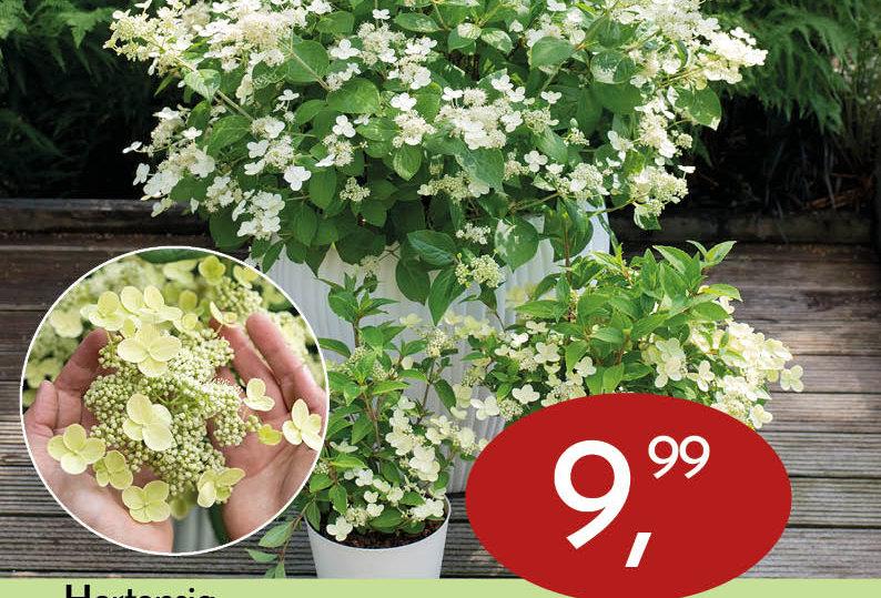 Hydrangea paniculata. 'Prim White' (Hortensia)